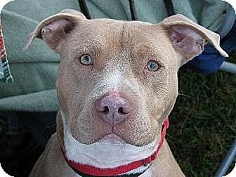 American Pit Bull Terrier Dog for adoption in Farmland, Indiana - Flynn