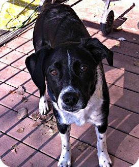 Border Collie Mix Dog for adoption in Roosevelt, Utah - Lucy