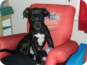 American Staffordshire Terrier Mix Puppy for adoption in Byhalia, Mississippi - Bosley