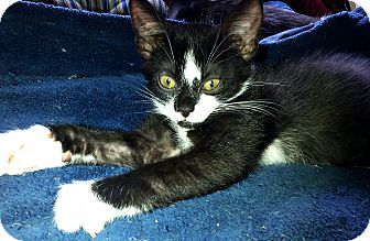 Domestic Shorthair Kitten for adoption in Seminole, Florida - Coal