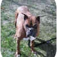Adopt A Pet :: YODA - Sunderland, MA