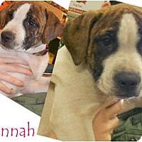 Adopt A Pet :: Hannah - Sylvania, OH