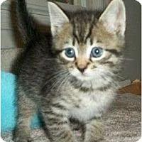 Adopt A Pet :: Sherlock Holmes - Reston, VA