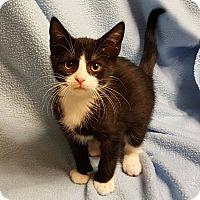 Adopt A Pet :: Vinnie - Bentonville, AR