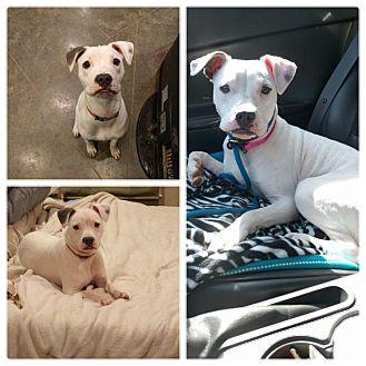 Bulldog/Boxer Mix Puppy for adoption in HARRISBURG, Pennsylvania - HONEY