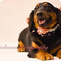 Adopt A Pet :: Shanti Kipling - Houston, TX