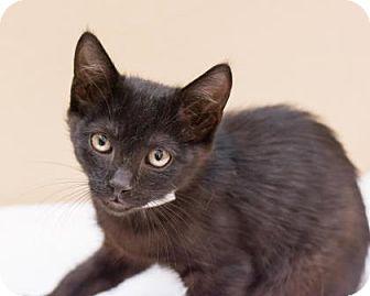 Domestic Shorthair Kitten for adoption in Scottsdale, Arizona - Henry