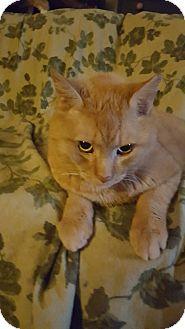 Domestic Shorthair Cat for adoption in Delmont, Pennsylvania - Big Al
