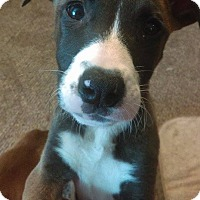 American Pit Bull Terrier/German Shepherd Dog Mix Puppy for adoption in Des Moines, Iowa - Georgia