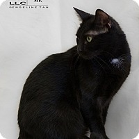 Domestic Shorthair Cat for adoption in Houston, Texas - KITENA