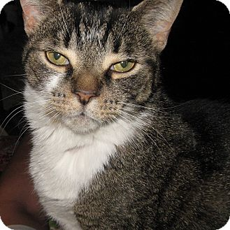 Domestic Shorthair Cat for adoption in Toronto, Ontario - Jellybean
