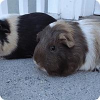 Adopt A Pet :: Cana & Lux - Fullerton, CA