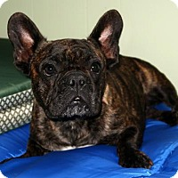 French Bulldog Dog for adoption in Rochester, New York - Cha Cha