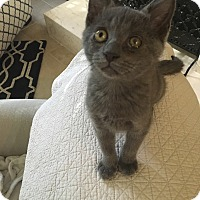 Adopt A Pet :: Gus - Riverview, FL