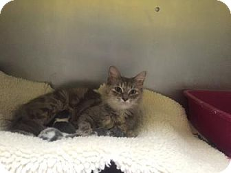 Domestic Shorthair Cat for adoption in Adrian, Michigan - Audi