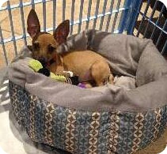Chihuahua Mix Puppy for adoption in Richardson, Texas - Princess Peanut