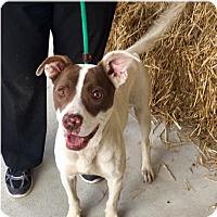 Adopt A Pet :: Freckles-URGENT - Springfield, MA