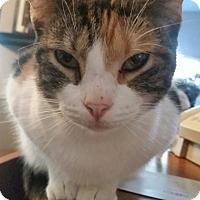 Calico Cat for adoption in Ocala, Florida - Abigail
