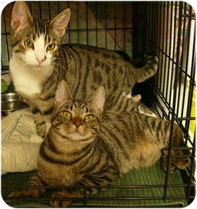 Domestic Shorthair Cat for adoption in Milford, Massachusetts - Juno