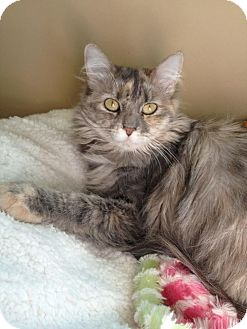 Domestic Mediumhair Cat for adoption in Edmond, Oklahoma - Evelyn