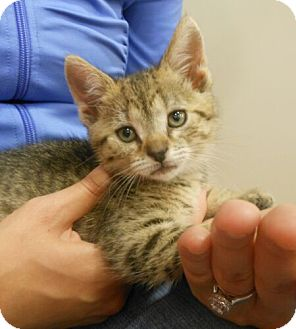 Domestic Shorthair Kitten for adoption in Reston, Virginia - Emme