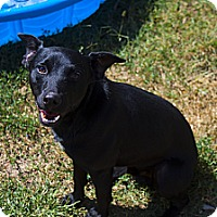 Adopt A Pet :: Batman - Fort Riley, KS