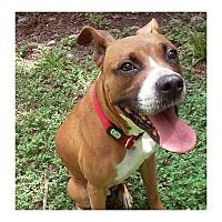 Adopt A Pet :: Polly - Dallas, TX
