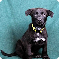 Adopt A Pet :: Duke - Westminster, CO