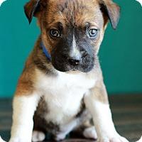 Adopt A Pet :: Ryan - Waldorf, MD