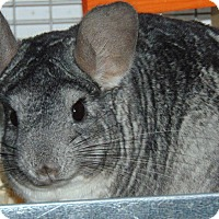 Chinchilla for adoption in Union, Kentucky - Whinnie