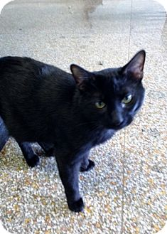 Domestic Shorthair Cat for adoption in Chicago, Illinois - Joey Tribbiani