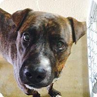 Adopt A Pet :: Zeus - Wickenburg, AZ