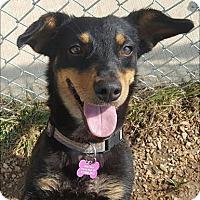 Adopt A Pet :: Zita - Neosho, MO