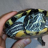 Turtle - Other for adoption in Markham, Ontario - Squee
