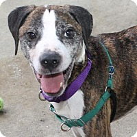 Staffordshire Bull Terrier Mix Dog for adoption in Richmond, Virginia - Burt