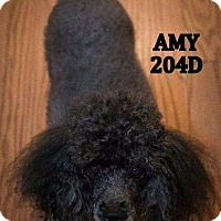 Adopt A Pet :: Amy - Spring, TX