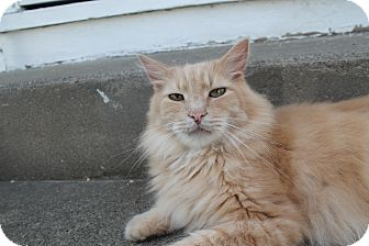 Maine Coon Cat for adoption in Flemington, New Jersey - Bingo