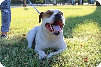 American Bulldog Mix Dog for adoption in Warrenville, Illinois - Phillip