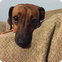 Adopt A Pet :: Lucy Chiweenie - Ashville, OH