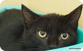 Domestic Shorthair Cat for adoption in Lincolnton, North Carolina - Nurse Ratchett  $20