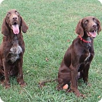 Pointer Mix Dog for adoption in Fairmont, West Virginia - Martain and Morgan