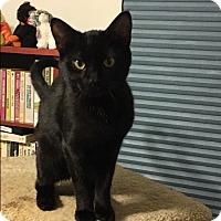 Adopt A Pet :: Bam Bam - Covington, KY