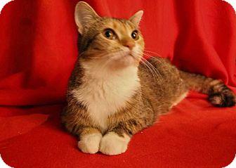 Domestic Shorthair Kitten for adoption in Mackinaw, Illinois - Leland