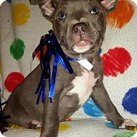 Adopt A Pet :: Popper - Detroit, MI