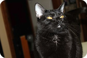 Domestic Shorthair Cat for adoption in Naperville, Illinois - Clara - $25.00