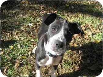 Boxer/Labrador Retriever Mix Puppy for adoption in Albany, Georgia - Snoopy