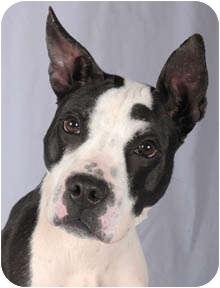 Great Dane/Boston Terrier Mix Dog for adoption in Chicago, Illinois ...