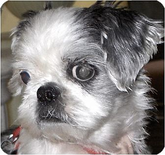 Shih Tzu Dog for adoption in Mays Landing, New Jersey - Emmy-NJ