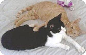 Domestic Shorthair Cat for adoption in Miami, Florida - Maui