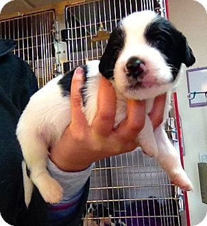 Pointer/Border Collie Mix Puppy for adoption in Seneca, South Carolina - Pete $200